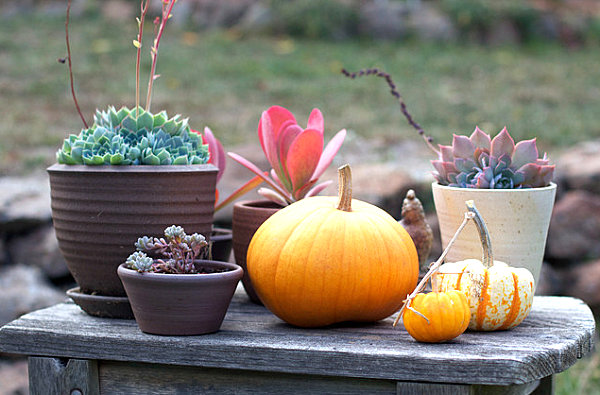 Pumpkin-succulent-medley